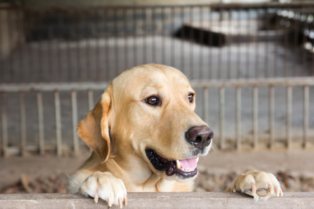 labrador teeth: Brown dog stood and wait over the cage Stock Photo
