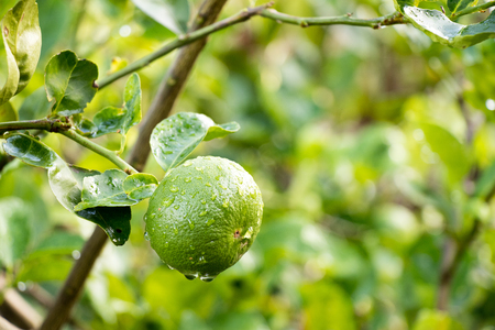 Green lime with leaf and rain droplet background