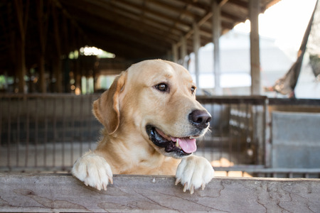 labrador teeth: Brown dog stood and wait over the cage background