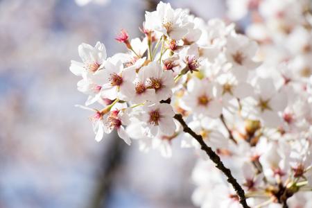 White cherry (Sakura) blossom in spring season with blue sky background Stock Photo