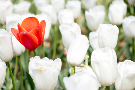 Red tulip growth among white tulip background (Concept for differentiate from other, leader or unique)