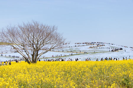 Ibaraki, Japan April 25, 2017 : Nemophila (baby blue eyes) hill at Hitachi seaside park at Ibaraki Japan. This place is the famous attraction place during spring period.