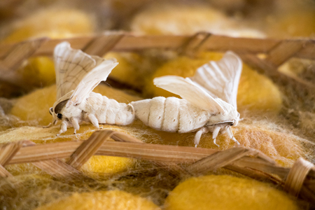 Closed up of group yellow cocoon of silk worm and butterfly still breed in weave nest background