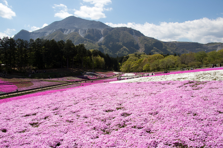 SAITAMA JAPAN - APR 28, 2017: Pink moss (Shibazakura, Phlox subulata) flower at Hitsujiyama Park in Saitama Prefecture, Kanto area, Japan. This is the famous place for tourist attraction.