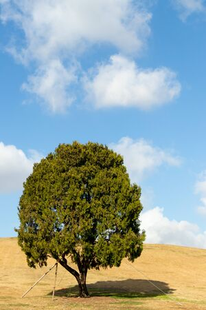 Lonely tree at   park, seoul with yellow grass field and blue sky background