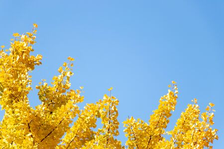 Yellow color of Ginkgo tree leaf on clear blue sky background
