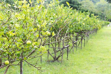 Row of fresh green lime in farm background 版權商用圖片