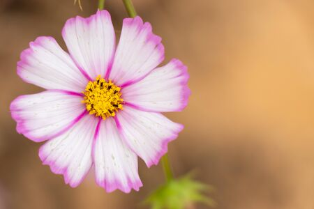Beautiful pink and white color cosmos flower background 스톡 콘텐츠