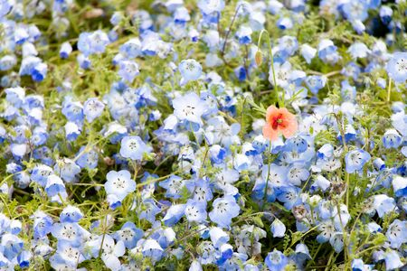 Red flower growth among blue nemophila background (Concept for differentiate from other, leader or unique)