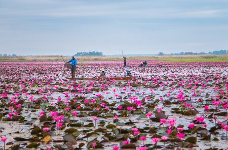 unseen: UDONTHANI,THAILAND - JANUARY 12, 2015 : Unseen pink water lily festival in Udonthani. On January 12, 2015 in Udonthai ,Thailand Editorial