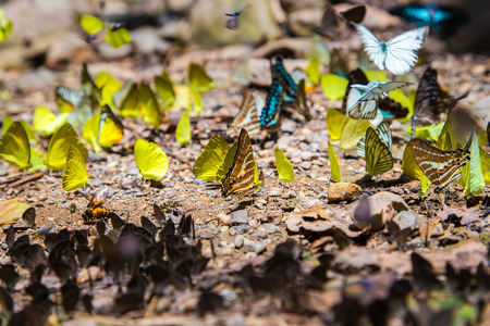 kaeng: Butterfly at Kaeng Krachan National Park in Phetchaburi Province  Thailand Stock Photo