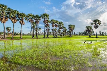 plentiful: Plentiful green rice field in Phetchaburi Thailand