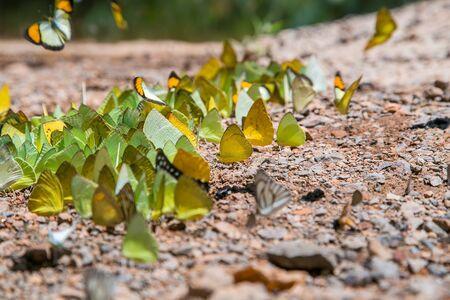 ocampo: Butterfly at Kaeng Krachan National Park in Phetchaburi Province Thailand
