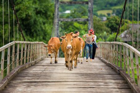 to tend: TULE, YENBAI, VIETNAM - AUGUST 1, 2015 : Unidentified Asian child labor tend cow on rice plantation, ox, children work at Vietnamese poor countryside, Vietnam, August 1, 2015