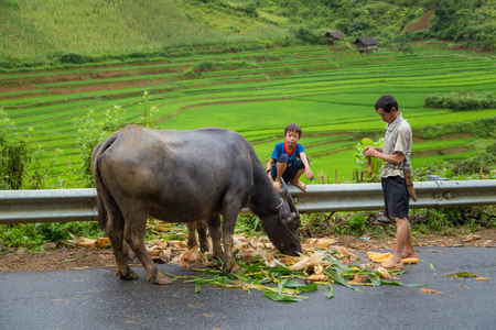 to tend: Unidentified Asian child labor tend cow on rice plantation, ox, children work at Vietnamese poor countryside, Vietnam
