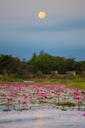 nympha: Sea of pink lotus unseen in Thailand