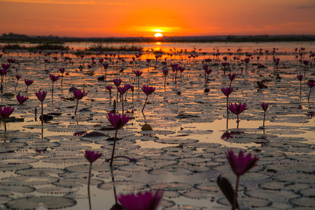 unseen: Sea of pink and red lotus at Udonthani Thailand unseen in Thailand