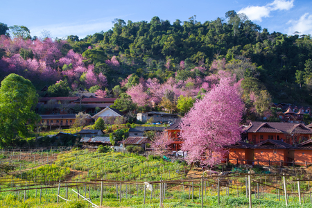 chiang mai: Cherry Blossom and sakura at Doi Ang Khang in Chiang Mai , Thailand