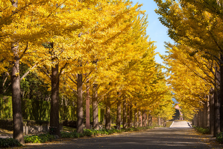 showa: nice yellow color with ginkgo tree at Japan