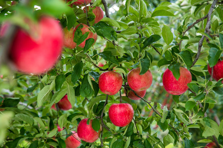 Garden Apple Stock fotó