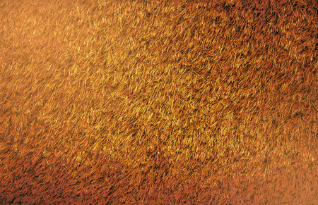 Background of a green brown. Texture brown lawn