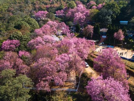 Sakura flower blooming blossom in Banpot Wittaya School at Chiang rai , Thailand