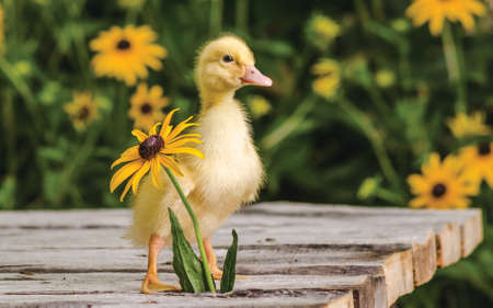 Cute duckling standing by the flower on an old rustic wooden table in the garden