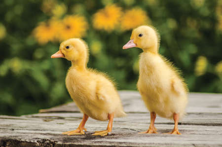 Cute ducklings on an old rustic wooden table in the garden