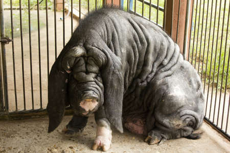 ugly pig photo