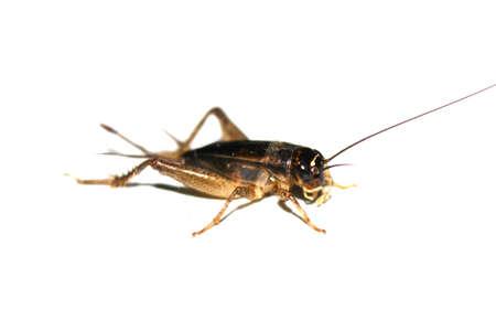 Gryllus bimaculatus cricket isolated on white