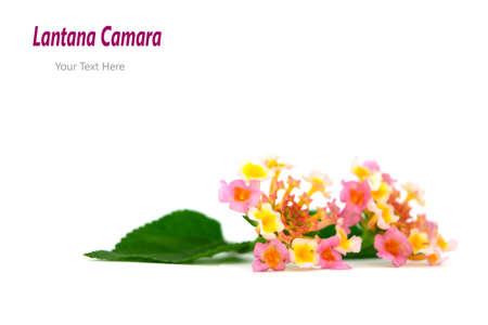 Schöne Blume Lantana camara auf weißem Hintergrund Standard-Bild