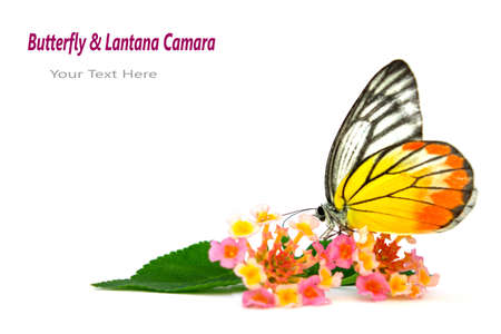 Butterfly   Beautiful flower  Lantana camara  isolated on white background  photo