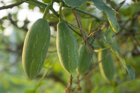 Loofah Pflanzen in ihrer natürlichen Umgebung