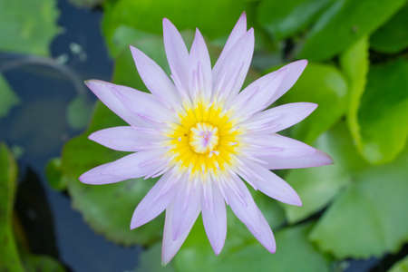 Blue water lily , Green lotus Stock Photo