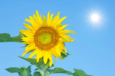 Beautiful yellow sunflower and blue sky background