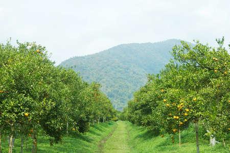 Ripe orange Baum wächst im Bauerngarten