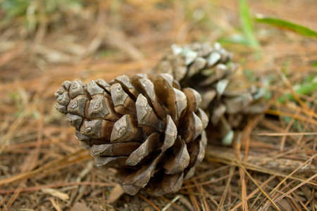 pine cones on ground , nature background photo