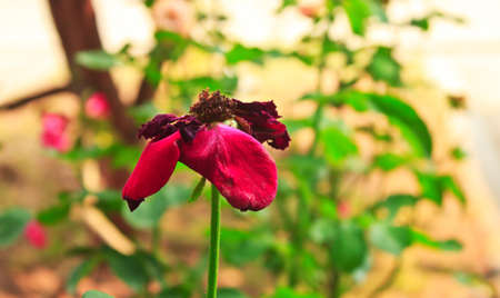 dried rose on rosebush , dry flower in nature photo