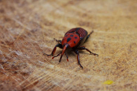 villus: The red beetle sitting on the wood