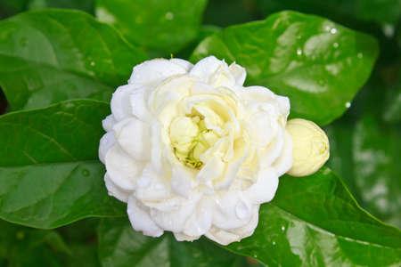Beautiful White Jasmine Flower in The Garden