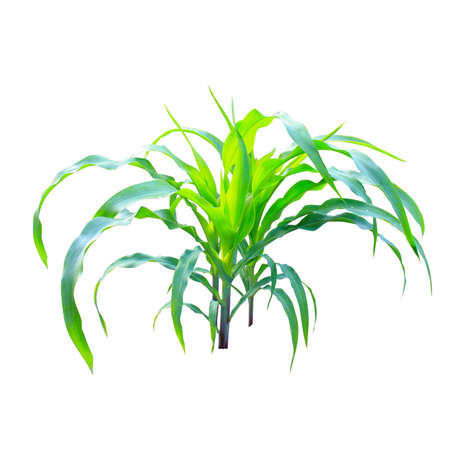 Corn plant isolated on the white background