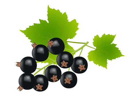 black currants on white background,drawing by illustration Vector