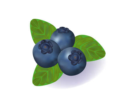 vector illustration of the blueberries with the green leaves.
