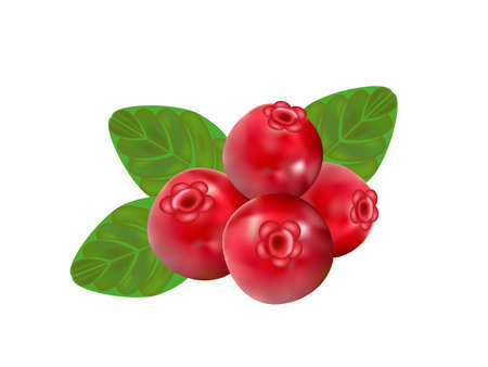 foxberry: cranberry on white background,drawing by illustration Illustration