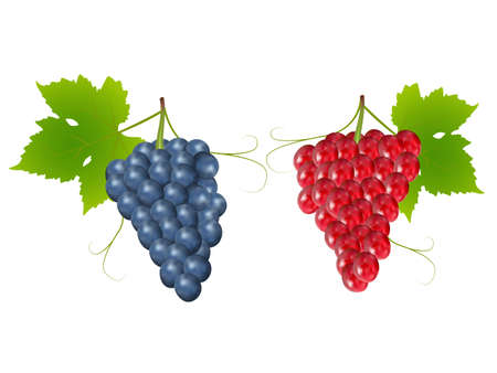 viticulture: grapes on white background,drawing by illustration