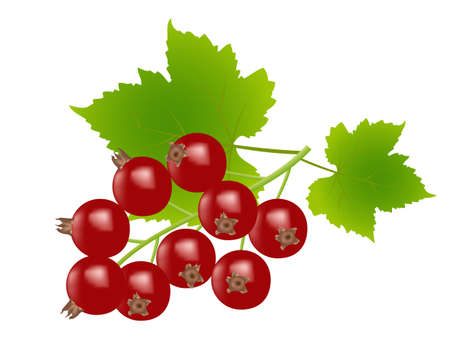 redcurrants on white background,drawing by illustration Vector