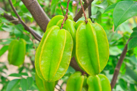 Green star fruit on the tree