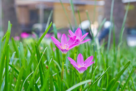 blurr: pink rain lily flower - ( zephyranthes flower )
