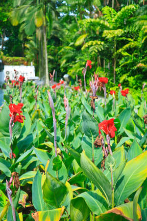 Beautiful Red Canna flowers in the garden