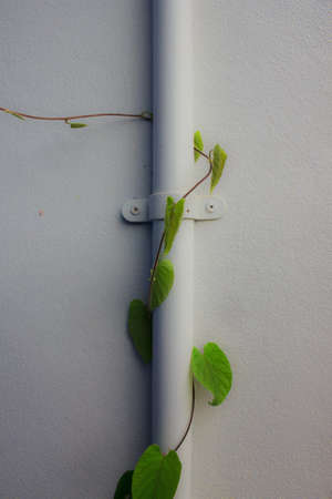 drainpipe against a white wall with ivy growing up  photo